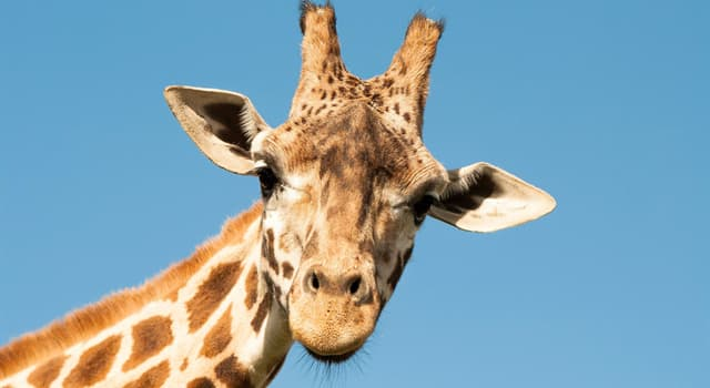 natura Pytanie-Ciekawostka: Ile kości w szyi ma żyrafa?