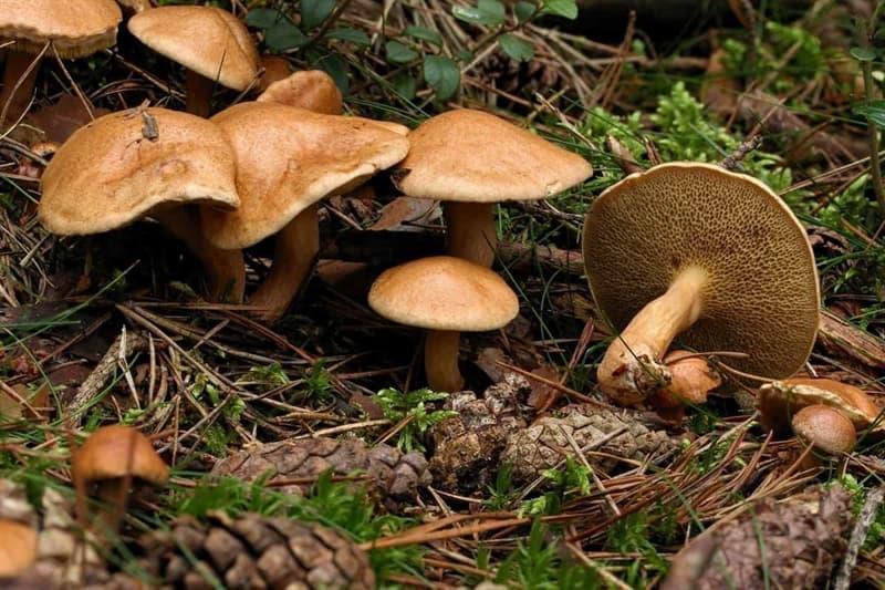 природа Запитання-цікавинка: Як називаються їстівні гриби, зображені на фотографії?