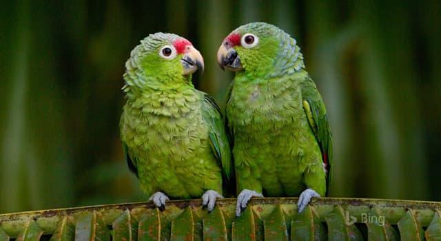 природа Запитання-цікавинка: Які папуги вважаються найталановитішими, здатними до звуконаслідування?