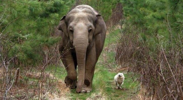 природа Запитання-цікавинка: Яке з перерахованих тварин є найближчим родичем слона?
