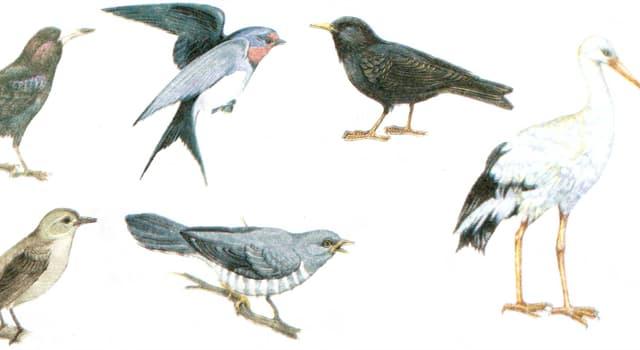 природа Запитання-цікавинка: Який птиці належить рекорд по найдовшому маршруту міграції?