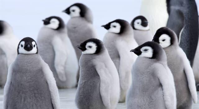 природа Запитання-цікавинка: Який вид пінгвінів є найбільшим і важким з сучасних видів сімейства пінгвінів?