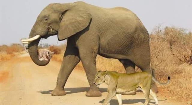 Natur Wissensfrage: Was ist die Körperfunktion der großen Ohren eines Elefanten?