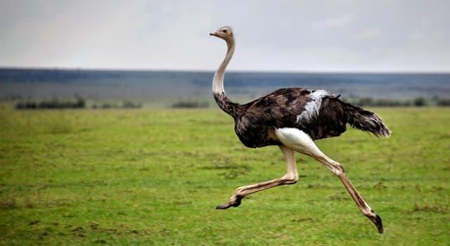 природа Запитання-цікавинка: Яка птах займає друге місце за величиною в світі (після страуса)?