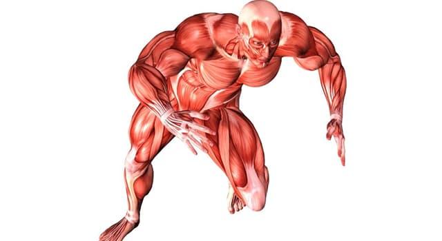 Wissenschaft Wissensfrage: Welcher ist der am härtesten arbeitende Muskel des menschlichen Körpers?