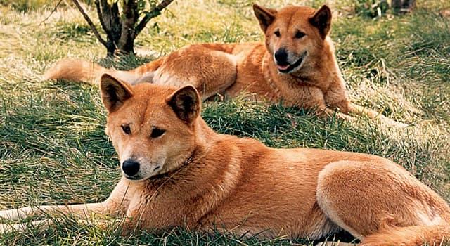 Natur Wissensfrage: Wo leben Dingos?