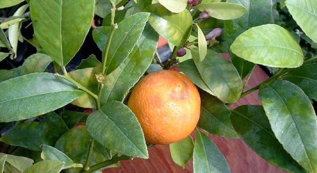 Natur Wissensfrage: Wie heißt die Hybride der Zitrone und Mandarine?