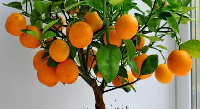 Natur Wissensfrage: Wie heißt eine Hybride aus der Mandarine und der Kumquat?