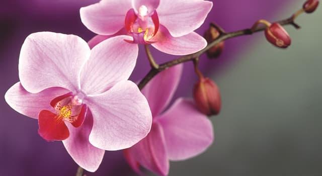 Культура Запитання-цікавинка: Який відомий приватний детектив (вигаданий персонаж) вирощував орхідеї в своєму квітнику?