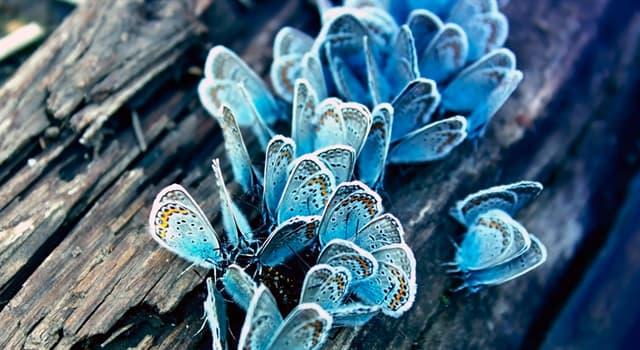 природа Запитання-цікавинка: Хто з перелічених представників загону комах не є метеликом?