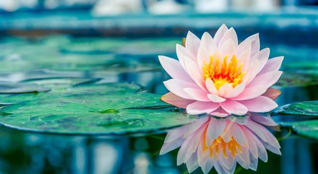 Kultur Wissensfrage: Stimmt es, dass die Lotosblumen gegessen werden können?