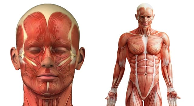nauka Pytanie-Ciekawostka: Gdzie w ludzkim ciele znajduje się kręg obrotowy?