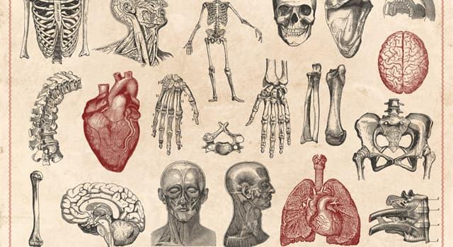 Wissenschaft Wissensfrage: Wo im menschlichen Körper befindet sich das Corti-Organ?