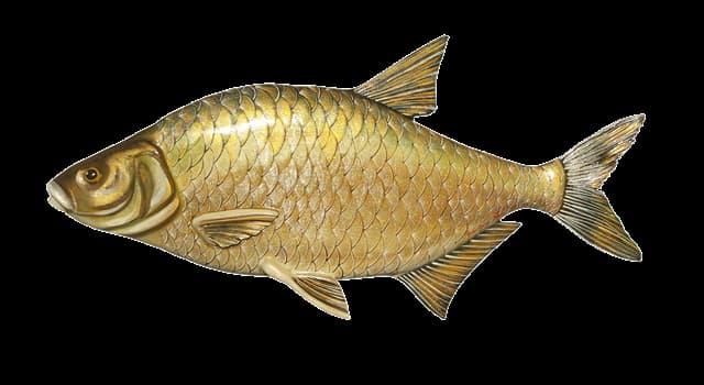 природа Запитання-цікавинка: Для чого рибі луска?