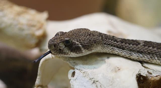 природа Запитання-цікавинка: Де знаходиться брязкальце у гримучої змії?