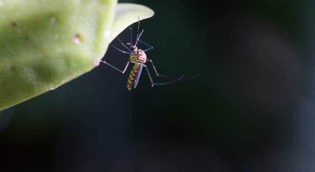 natura Pytanie-Ciekawostka: Ile czułek mają komary?