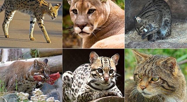 Natur Wissensfrage: Wer ist die drittgrößte Katze der Welt nach dem Tiger und dem Löwen?