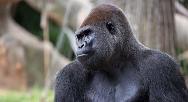 Natur Wissensfrage: Wo schlafen Gorillas?