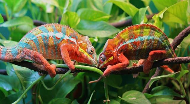 природа Запитання-цікавинка: Чим харчуються хамелеони?