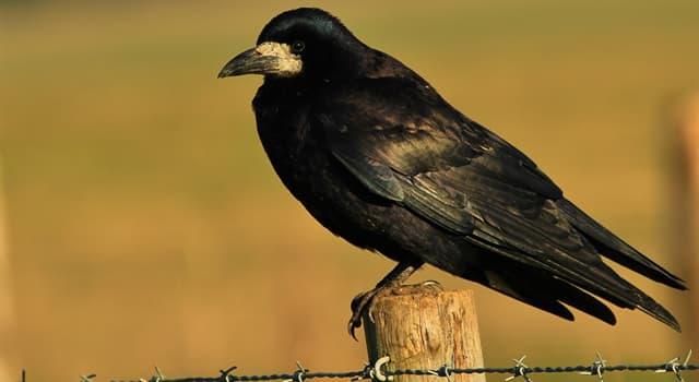 природа Запитання-цікавинка: Чим харчуються птахи сімейства воронових?
