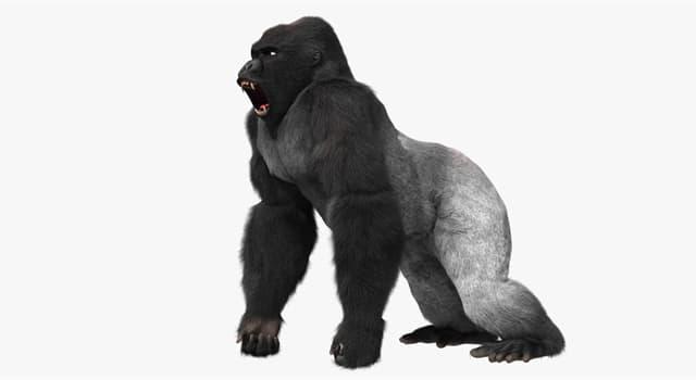 природа Запитання-цікавинка: Що роблять горили, щоб показати своїм ворогам на скільки вони страшні і жахливі?