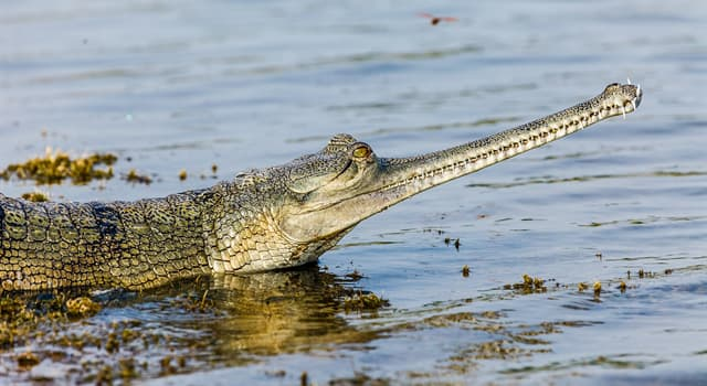 природа Запитання-цікавинка: Гавіали з усіх крокодилів проводять найбільше часу в воді, а для чого вони зрідка виходять на сушу?