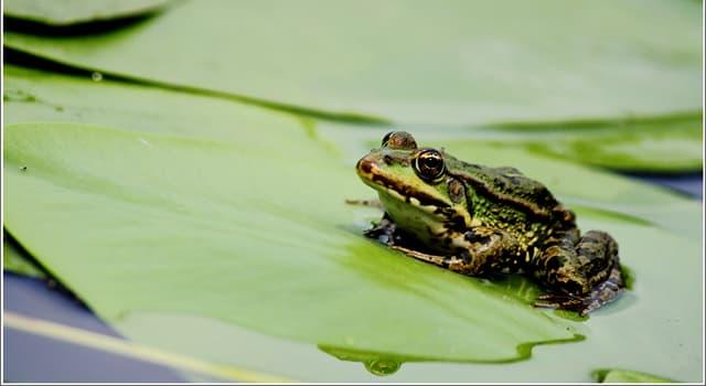 природа Запитання-цікавинка: Як жаби розмножуються?
