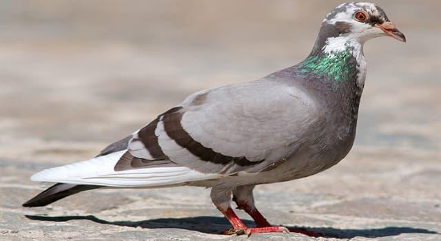 природа Запитання-цікавинка: Яка птах є спорідненою голубу?