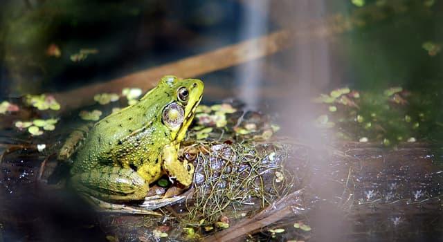 природа Запитання-цікавинка: Коли квакають жаби?
