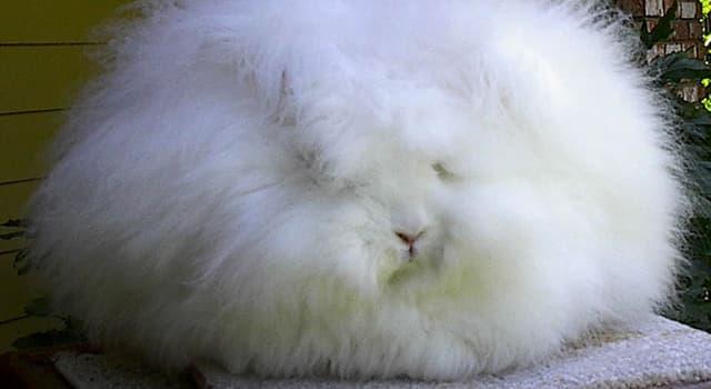 природа Запитання-цікавинка: Кролик якої породи зображений на фото?