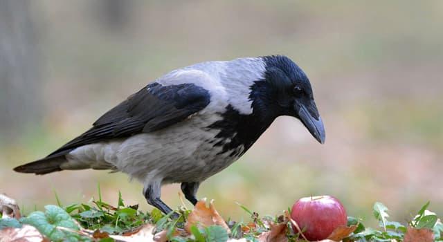 природа Запитання-цікавинка: Хто не відноситься до сімейства воронових?