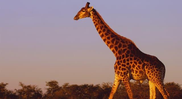 природа Запитання-цікавинка: Скільки жирафу потрібно часу на сон?