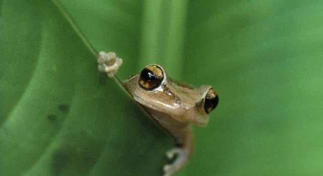 natura Pytanie-Ciekawostka: Czego nie mają dorosłe żaby?