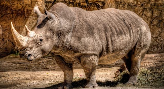 природа Запитання-цікавинка: Навіщо люди полюють на носорогів?