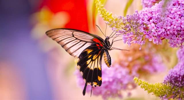 природа Запитання-цікавинка: Чим денні метелики відрізняються від нічних?