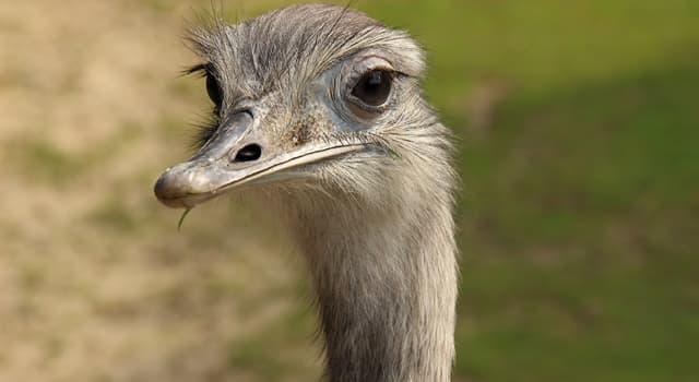 природа Запитання-цікавинка: Чим нанду не відрізняється від страуса?