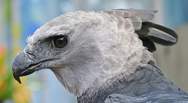 Natur Wissensfrage: Wovon ernährt sich eine Harpyie?
