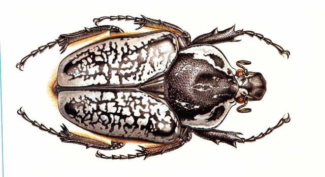 natura Pytanie-Ciekawostka: Czym głównie żywią się chrząszcze typu Goliat?