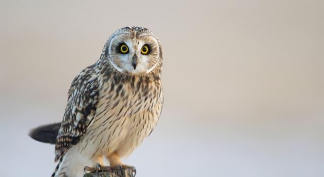 природа Запитання-цікавинка: Чим харчуються сови?