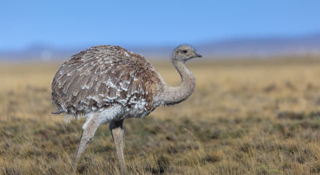 Nature Trivia Question: What does Darwin's Rhea have at the end of each wing?