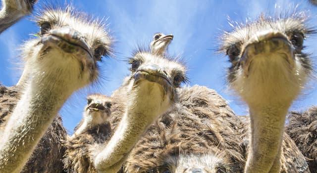 природа Запитання-цікавинка: Де гніздяться страуси?