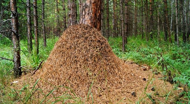 природа Запитання-цікавинка: Як називається гніздо мурах?