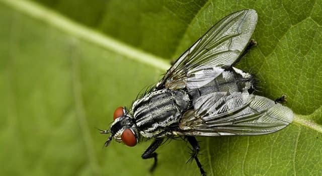 природа Запитання-цікавинка: Яка муха більшу частину часу проводить на відкритому повітрі, концентруючись біля ринків?
