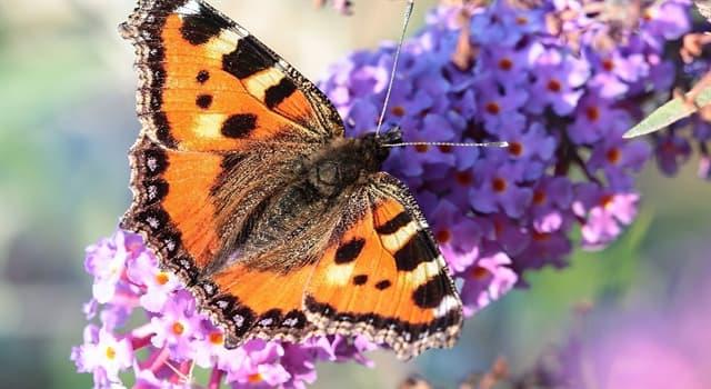 природа Запитання-цікавинка: Який факт про метеликів невірний?