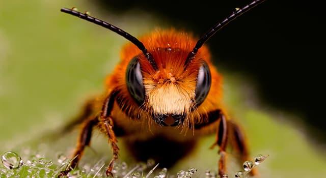 природа Запитання-цікавинка: Який факт про бджіл невірний?