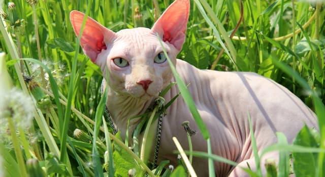 природа Запитання-цікавинка: Кішка якої породи зображена на фото?