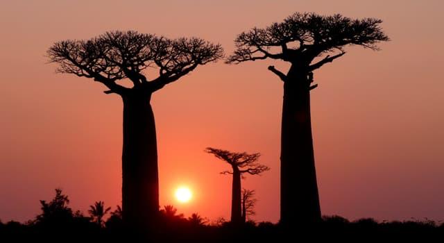 Natur Wissensfrage: Stimmt es, dass ein Baobab durch Fledermäuse bestäubt wird?