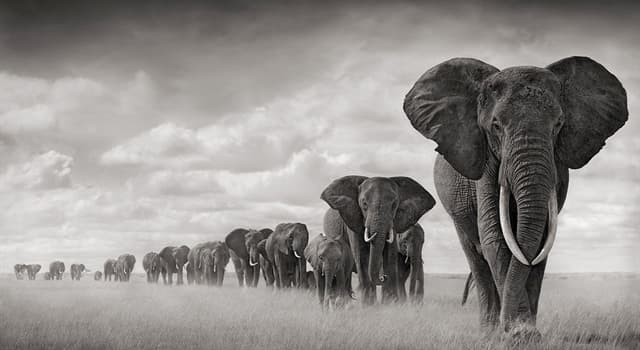 Natur Wissensfrage: Stimmt es, dass Elefanten verschiedene menschliche Sprachen unterscheiden können?