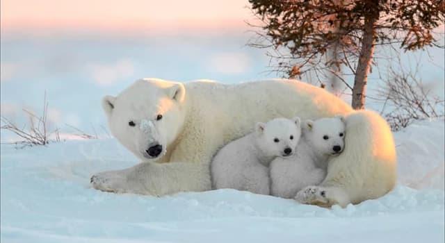 Natur Wissensfrage: Warum darf man die Leber eines Eisbären nicht essen?