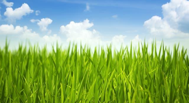 природа Запитання-цікавинка: Яка трава найвища на Землі?